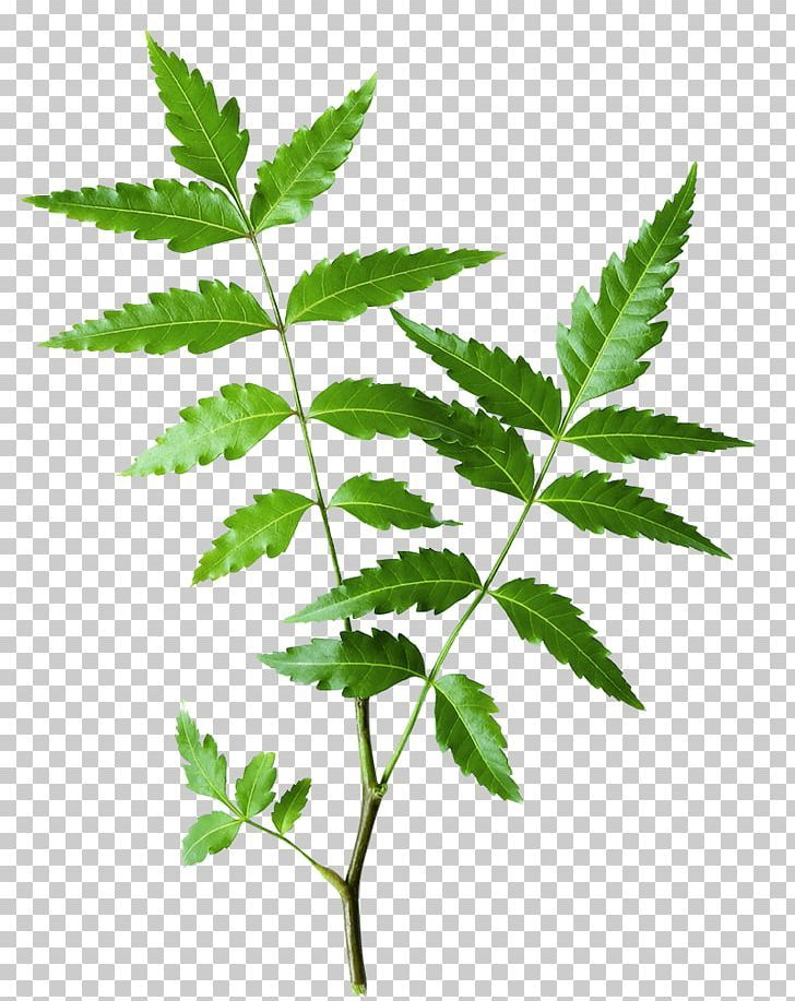 Neem Tree The Himalaya Drug Company Neem Oil Ayurveda Herb Png Acne Ayurveda Azadirachta Cleanser Face Neem Ayurveda Neem Oil