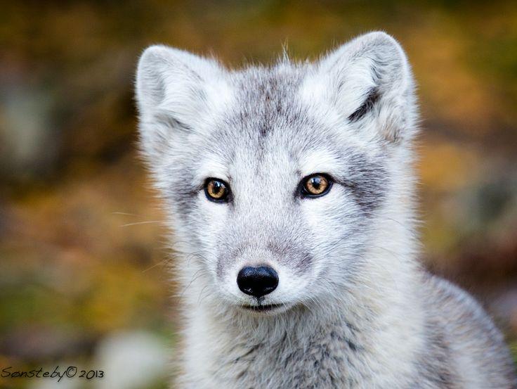 Arctic fox puppy arctic fox fox pups wild dogs