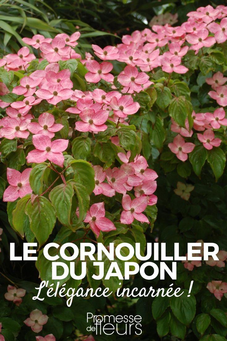 Originaire d'Asie, le cornouiller du Japon ou Cornus kousa, est un arbuste à croissance lente pouvant facilement atteindre 5 mètres de hauteur dans nos jardins. Il en existe de très nombreux cultivars. #arbuste #cornus