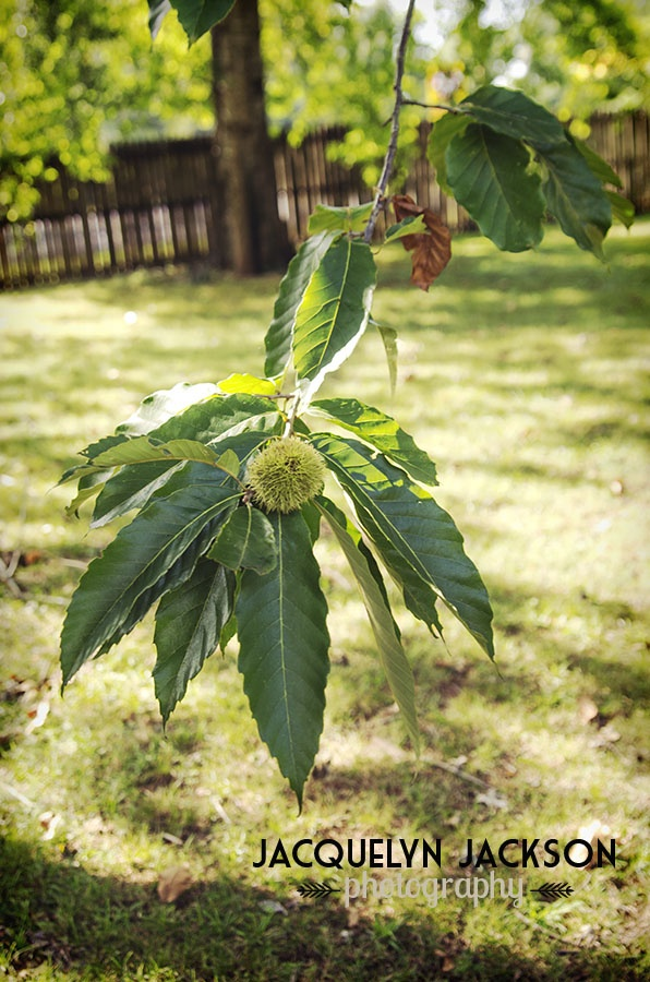 1000+ images about Chestnuts on Pinterest   Buckeyes, Chocolate layer ...