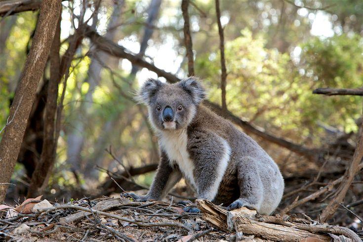 #animal #cute #fur #koala #marsupial #nature #wildlife