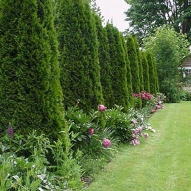 Lawn Hedges: 29 Best Q : G : Privacy Hedge Images On Pinterest
