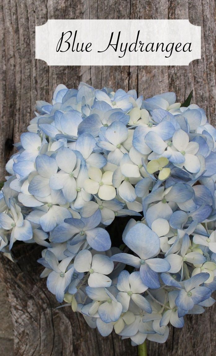 Weddingflowersymbolism Early Spring Flowers Flower Meanings Hydrangea Not Blooming