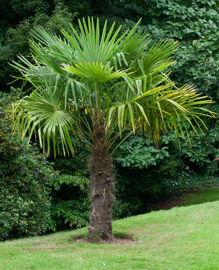 Windmill Palm Tree for Sale