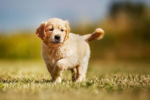 Labrador Puppies Vs German Shepherd Getting Ideas About