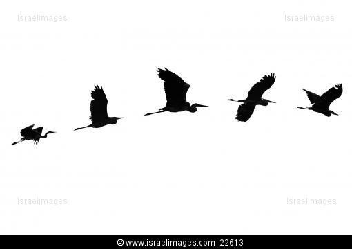 Flying Herons, Hula Valley, Israel
