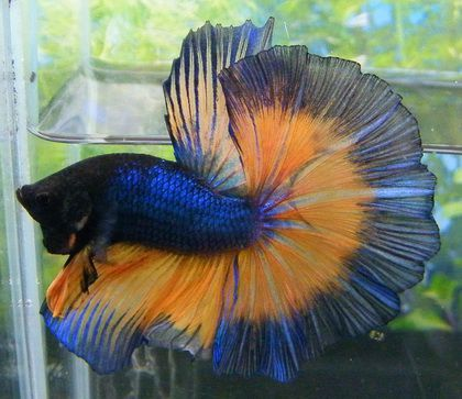 Mustard Gas Butterfly Halfmoon Betta | * Fish ...