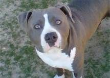 pitbull puppies - What do you mean all the doggie treats are gone.I do not understand this.