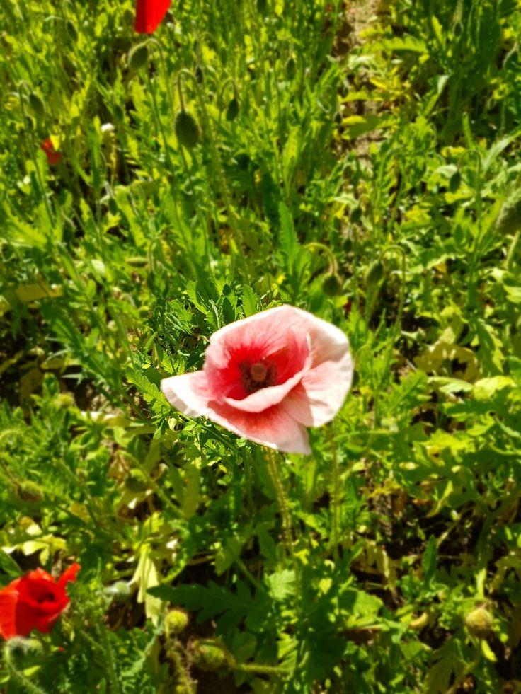 Flanders Poppy in our garden.