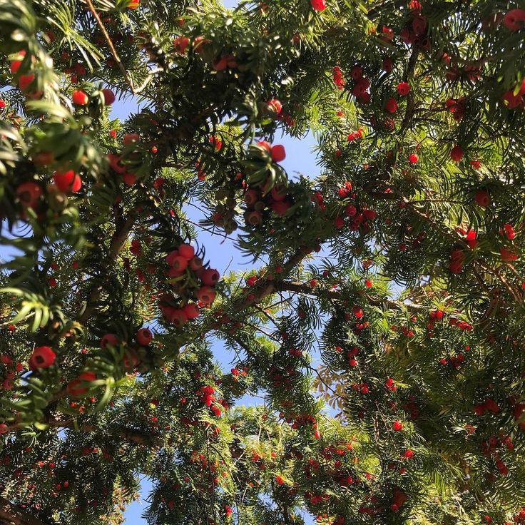 отношении тис дерево фото в крыму ходе