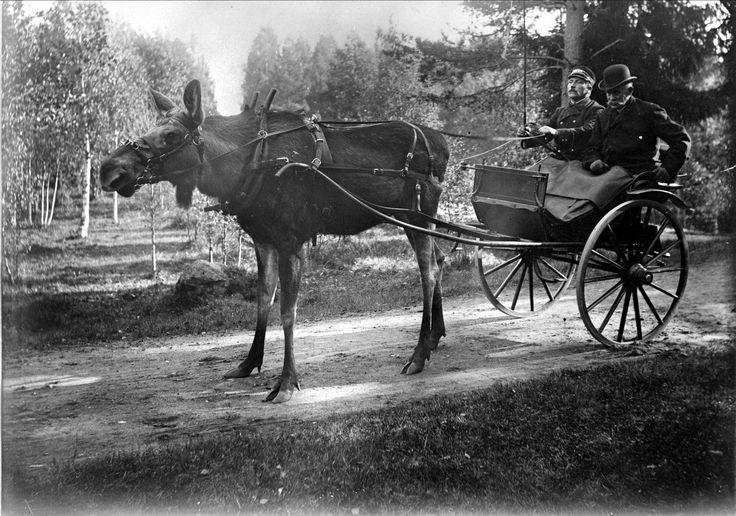 Älgen Stolta drar gigg med två män i Järnvägsparken, Älvkarleö, Älvkarleby socken, Uppland 1908 @ DigitaltMuseum.se