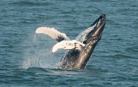 'De walvis landde steeds op zijn linker zijde of rug en liet daarbij mooi het bonte zwart-wit patroon op zijn keel en buik zien.........'wat een mooi gezicht.......