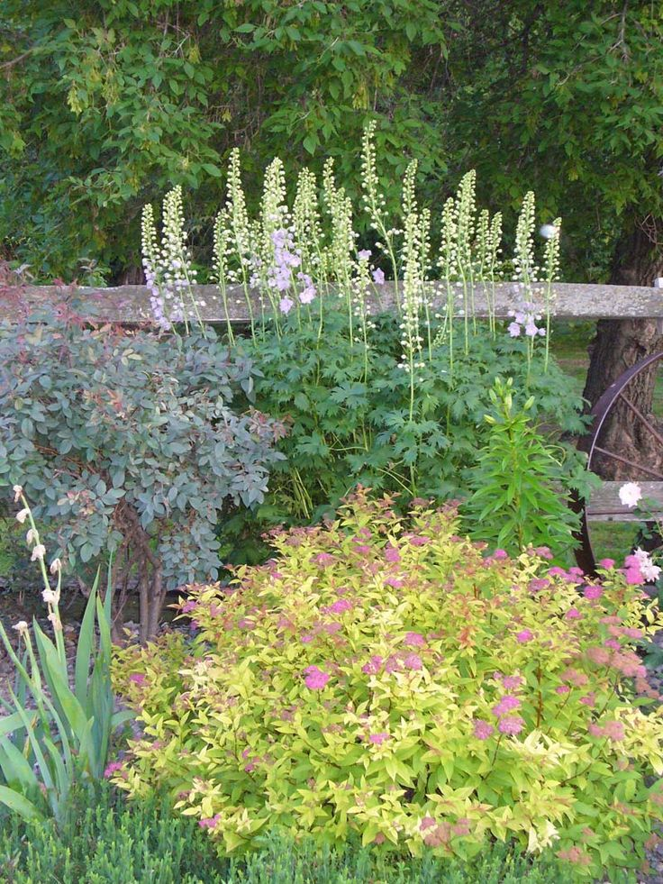 goldmound spirea Google Search Garden Pinterest Shrub
