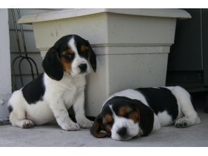 Cute Beagle Puppies for sale - http://www.austree.com.au/ads/cute-beagle-puppies-for-sale/
