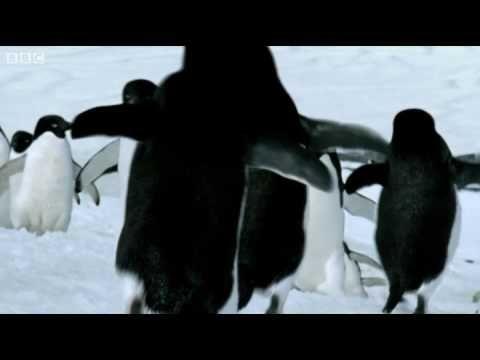 If Penguins Could Fly - BBC #Penguins #BBC #April_Fools