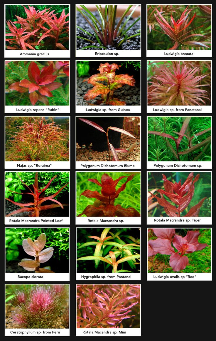 Pink & red freshwater aquarium plants