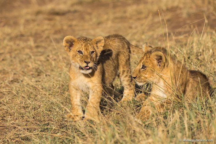 Один львиный прайд http://kleinburd.ru/news/odin-lvinyj-prajd/  Очень забавные фотографии львиного прайда. 21 фото Фотографии и текст Alexey Osokin 1. Обратите внимание на пятна. Львята рождаются с коричневыми пятнами на теле, как у леопардов. При достижении половой зрелости эти пятна исчезают, хотя у некоторых взрослых особей, особенно у самок, они сохраняются на животе и ногах. 2. Львы — одни из немногих наземных […]