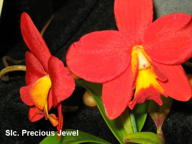 Orchid SLC Jewel Box | Fraser Valley Orchid Show (Langley, Canada)