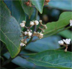 Árvore da Mata Atlântica atua contra leishmaniose e doença de Chagas