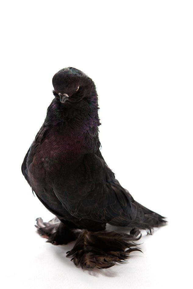 English Longface Tumbler Pigeon