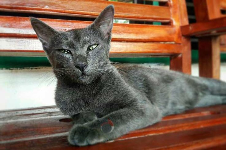 Ciri Ciri Kucing Raas, Kucing Busok dan Kucing Kecubung - http://kucingraas.co.id/ciri-ciri-kucing-raas-kucing-busok-dan-kucing-kecubung/