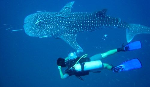 Scuba diving with whale sharks in Koh Tao, Thailand - Fundiving - KILROY #marine #life #diver #Asia