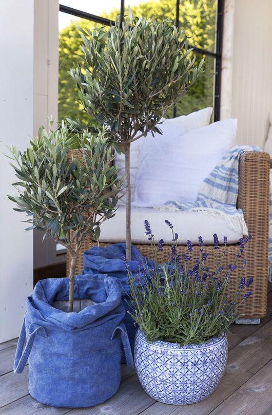 Oliventre er stilig i de nye blå grow-in selvanningspottene våre.