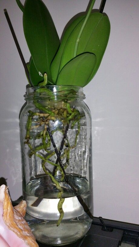 Another of my dendtobiums, just transfer it yesterday to full water culture, she just finish her blooms, they already fall off, im hoping a second round lol..she looks great, i remove the rooted roots from the moss she was before, and left clean roots to grow in water, gorgeous,  love my new experiment!!!