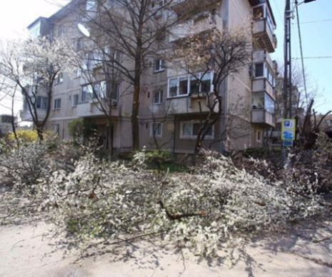 """Scene de coșmar, zilele acestea în Timișoara. Zeci de copaci,  cu coroanele înflorite, au fost """"decapitați"""". Coroanele pline de flori albe sau roz au ajuns la pământ, sub drujbele muncitorilor de la Drufec SRL, una  din companiile de amenajare a spațiilor..."""