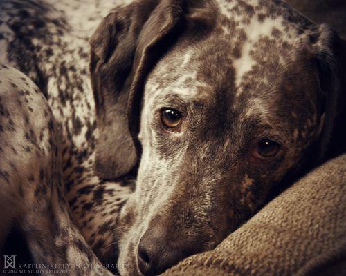 Magnus, a Braque du Bourbonnais (French Pointer)—© 2012 Kaitlin Kelly Nikon D200 + 60mm lens