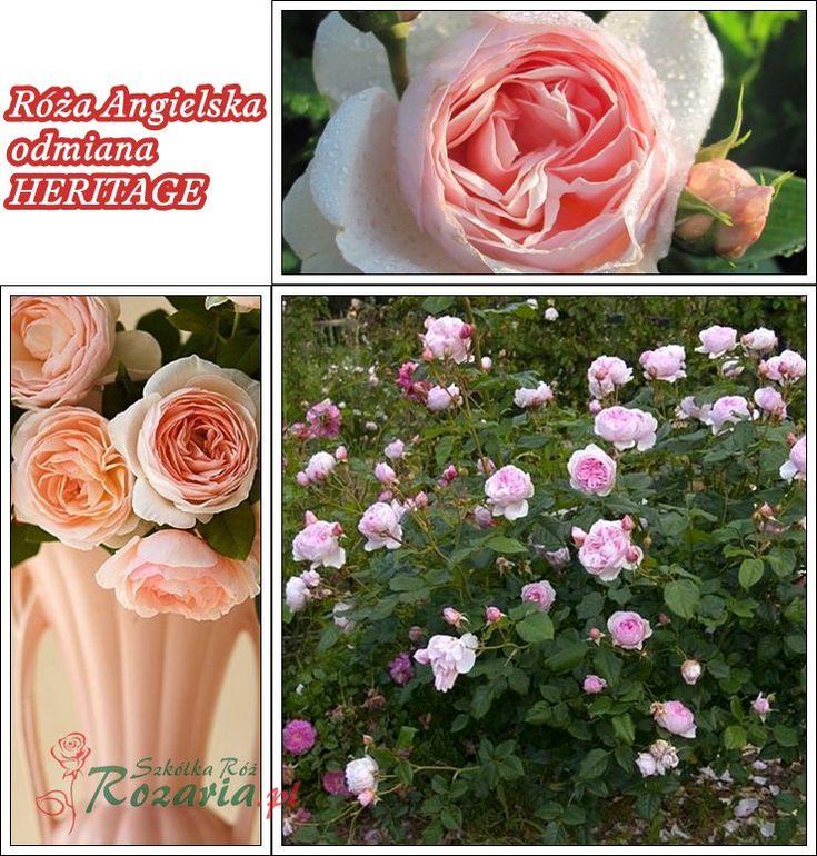 róże angielskie Heritage