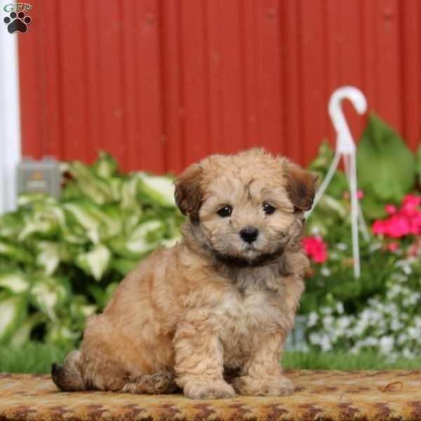 Dixie Havanese Puppy For Sale In Pennsylvania Havanese Puppies Havanese Puppies For Sale Puppies