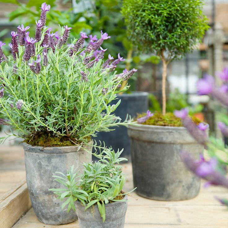 Mother S Day Container Garden Ideas: Best 25+ Spanish Lavender Ideas On Pinterest