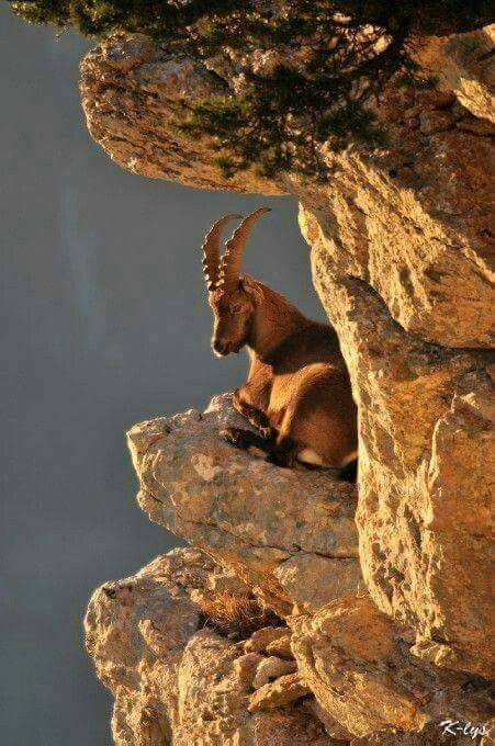 Mountain goat ~ I don't know how these goats climb up these steep mountains without falling off !