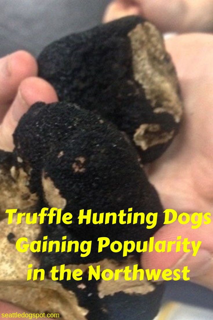 Find Out Why Dogs Are Quickly Replacing Pigs As The Preferred Animal For Finding Truffles The Delicacy Retails Hunting Dogs Truffle Hunting Dog Training Tips