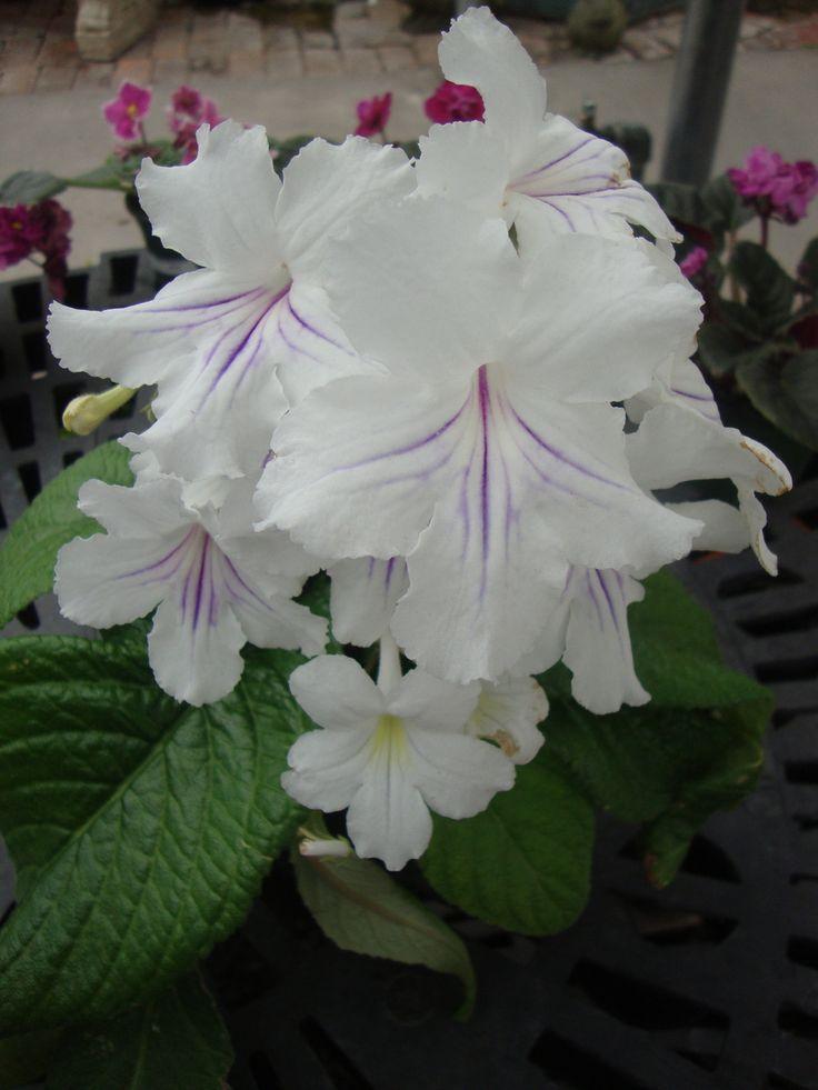 Cape Primrose 'White Ice' Streptocarpus Ladyslippers... Line these flowers !!!!