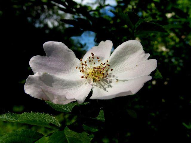 """moje zaczytanie: W sobocie z poezją .......... """"Dzika róża"""" K.I. Gałczyńskiego"""
