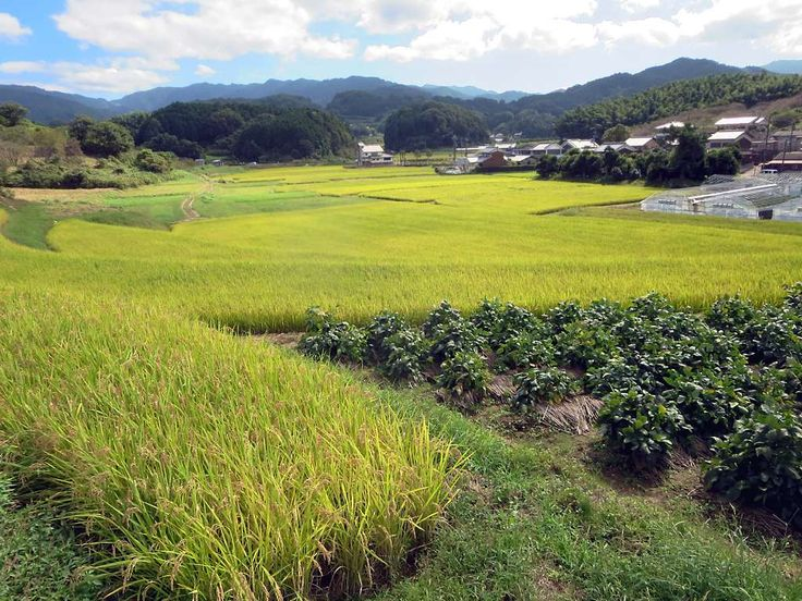 Rice paddies florish at Asuka, Japan, at the southern edge of the Yamato Plain. Japan's first permanent capital was established here in the 6th century AD.