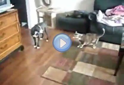 Ce chat n'a pas froid aux yeux ! Le chien de la famille semble jouer avec deux fillettes : il tire et mordille la robe de l'une d'entre elles, mais le chat n'approuve pas et vient s'interposer ! Une situation peu banale, où le chien va vite prendre ses jambes à son cou ! Article ...