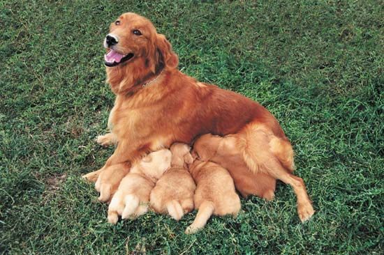 Golden retrievers! Mother loveGolden Obssess, Golden And, Precious Pets, Dogs Canine, Baby Human, Golden Retrievers, Irish Set, Dogs Puppies, Mama Dogs
