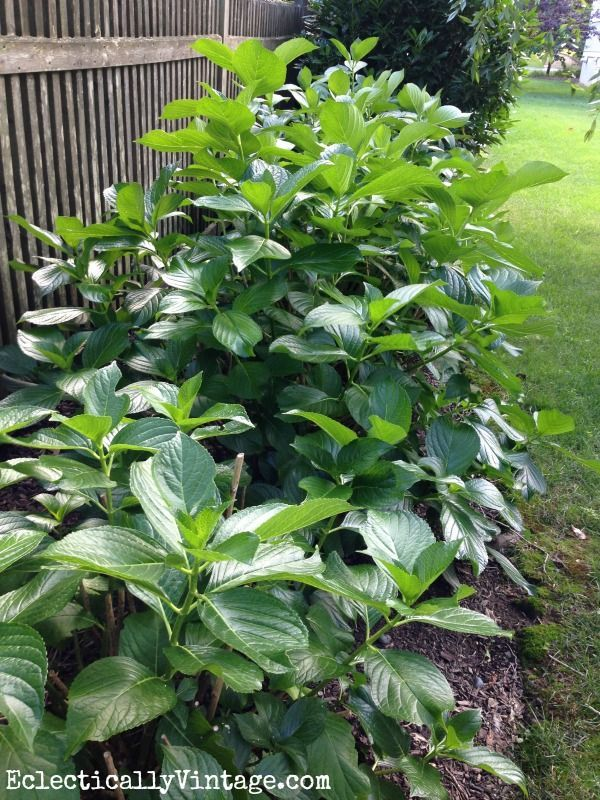 Learn the best times to prune hydrangeas or risk getting no blooms eclecticallyvintage.com