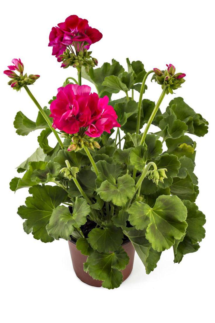 Cómo cuidar geranios Catus, Royalty Free Photos, Clip Art, Stock Photos, Green, Projects, Gardens, 3d Pictures, Gardening