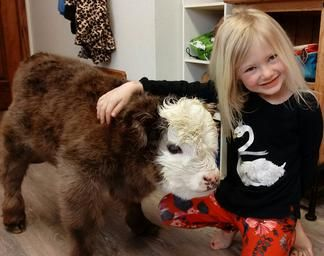 Mini cows for sale by Lovable Little Ones located in Loveland, Colorado. We specialize in mini cows for sale and mini bulls for sale in Colorado by Lovable Little Ones.