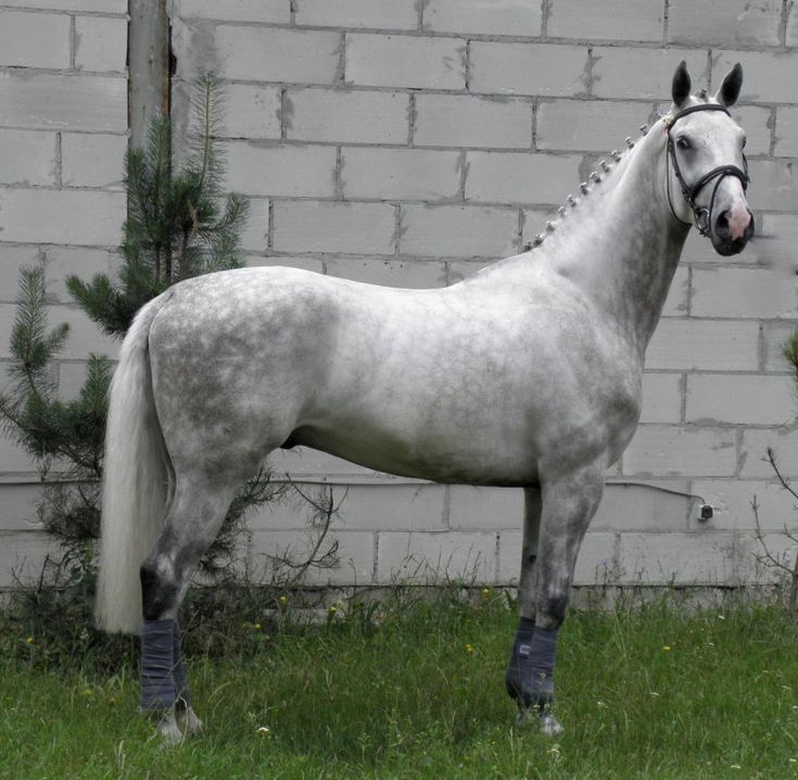 Sholkovyj.  Wielkopolski horse.  The Wielkopolski is a light riding and driving horse found in west-central Poland. The breed was developed in 1964 by combining the Mazury and Poznan breeds.