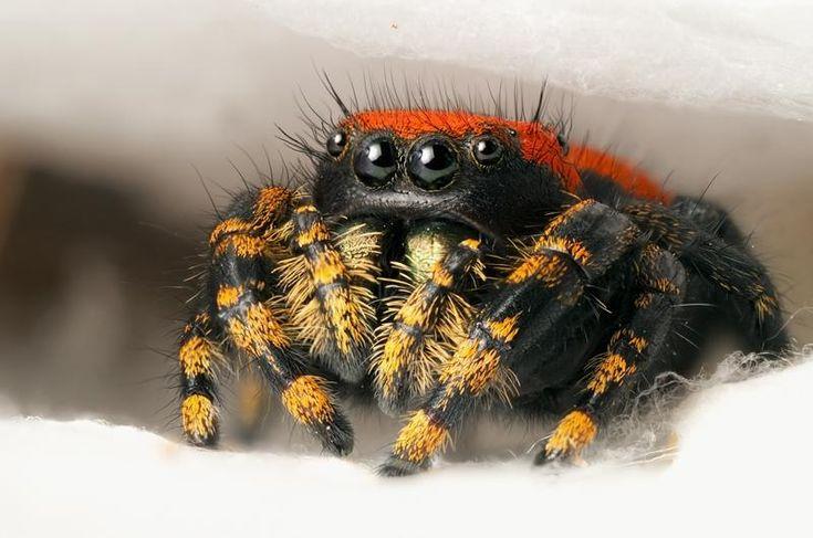 cute jumping spiders - Arachnology Photo (27689859) - Fanpop fanclubs