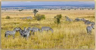 MEMORIAS DE AFRICA-CEBRAS EN LA SABANA -PN DE MASAI MARA -KENIA de