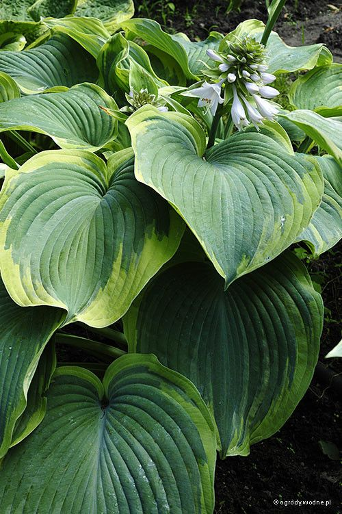 Hosta 'Earth Angel' - Funkia