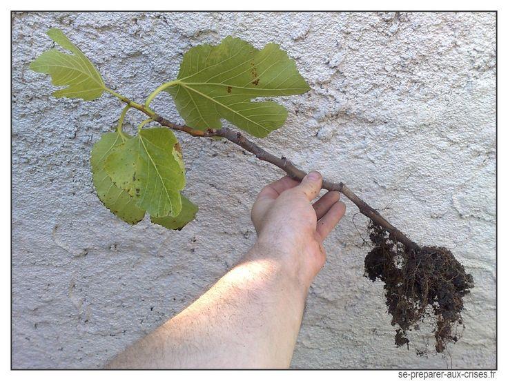 Un plant de figuier bouture de l annee derniere maison id es jardin pinterest tags et - Bouture de l hibiscus de jardin ...