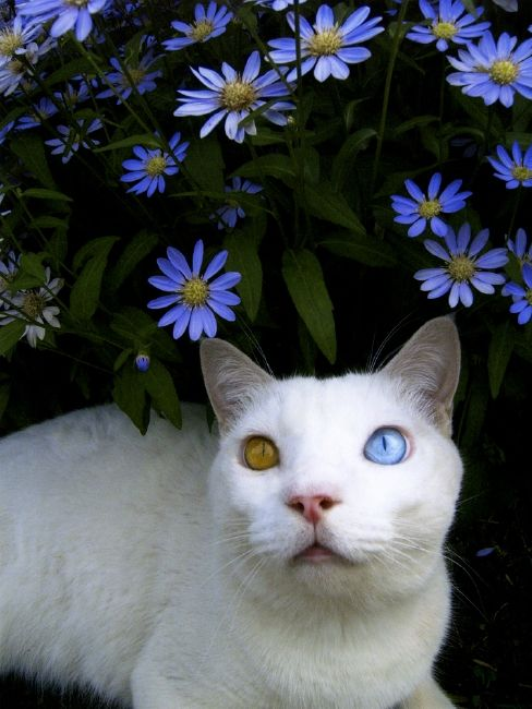 My beautiful girl, Sugar - a pure white Maine Coon, has the same eye colors!