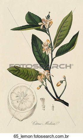 antigüidade, botânico, ilustração, de, árvore limão, (hand-colored, engraving)., 1836 Ampliar Ilustração